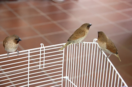 法鼓寺中的三只斑文鸟