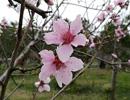上海顾村公园樱花节