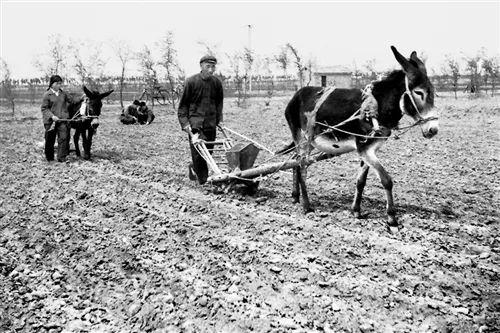 上世纪80年代,河北省廊坊市大城县付庄子村村民用毛驴耕地播栽玉米。 (摄于1980年4月)