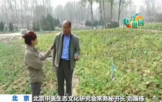 北京中医生态文化研究会常务秘书长 刘国栋:让中草药达到一种景观化。5月份栽培的有板蓝根、华北耧斗菜,还有石竹。6月份是百合,还有金莲花。7月份有桔梗,还有婆婆纳。8月份有百日菊、麦秆菊,还有紫菀、薄荷,五个品种。到了9月份,有地被菊跟千日红等这些中草药品种。