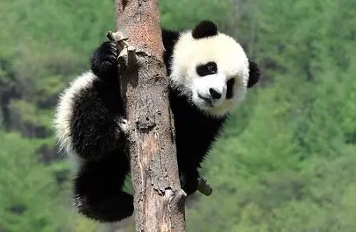 """浮言:5月16日,旅居美国加州圣地亚哥动物园的26岁大熊猫""""白云""""和她6岁的小崽""""小礼物""""回到中国,开启复活活。但英国媒体《镜报》却发文称,由于中美贸易战,中国把在。美圣地亚哥动物园的两只大熊猫召回了。"""