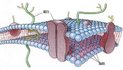 脂肪细胞膜蛋白:治疗前列腺癌新