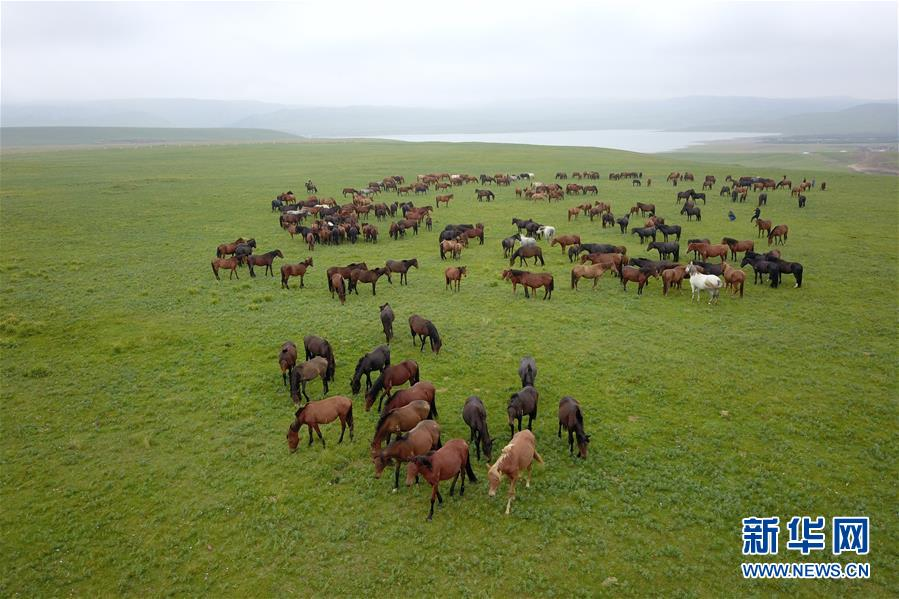 这是在中农发山丹马场有限责任公司一场拍摄的马群(8月21日无人机拍摄)。 新华社记者 范培珅