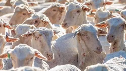 """<b>三年大旱,澳大利亚20亿美元羊毛产业受到威胁,""""烤羊腿""""也吃不起了?</b>"""