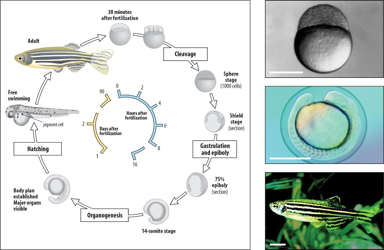 """""""水中小白鼠""""斑马鱼将用于筛选保健品 无限极这项新技术了解一下"""