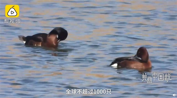 """鸟中的""""大熊猫"""" 极其濒危鸟类青头潜鸭现身:全球数量不到1000只"""