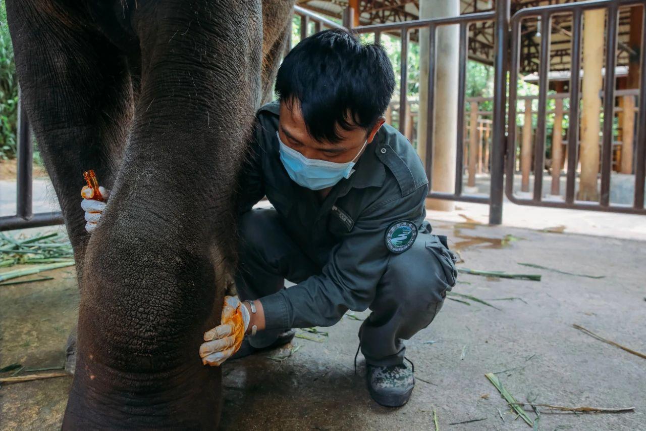 在西双版纳,救护亚洲象的人