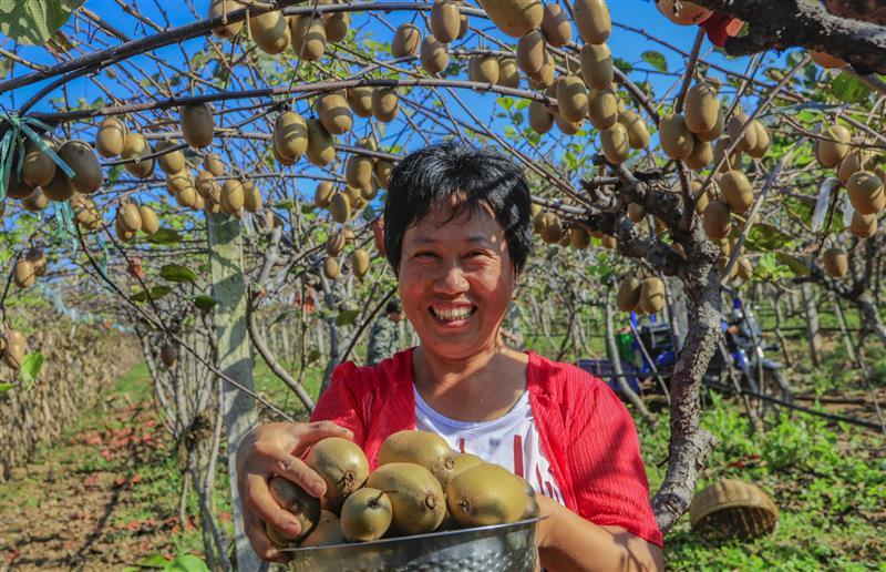 西峡:猕猴桃熟了
