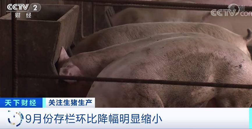 中国农业科学院农业信息研究所副研究员 朱增勇:目前,我们整个活猪的出栏重由原来的120公斤左右提升到140公斤。那么在同等的出栏量的情况之下,我们猪肉的供给能够增加15%左右。另外,我们目前整个冻品的库存还保持比较高的水平。到明年随着我们整个猪肉供给逐渐增加,我们猪肉的价格将会逐渐地回归合理的价格水平。